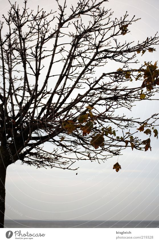 Old Tree Ocean Calm Leaf Autumn Gray Horizon End Transience Branch Baltic Sea Treetop Twig Bad weather Twigs and branches
