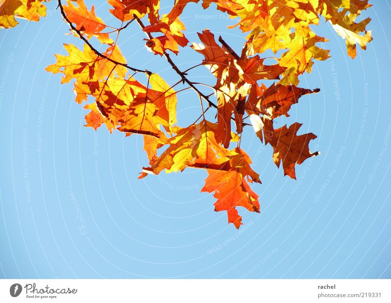 Nature Sky Blue Leaf Autumn Gold Change Transience Seasons Beautiful weather Brilliant Autumn leaves October Oak tree Deciduous tree Twigs and branches