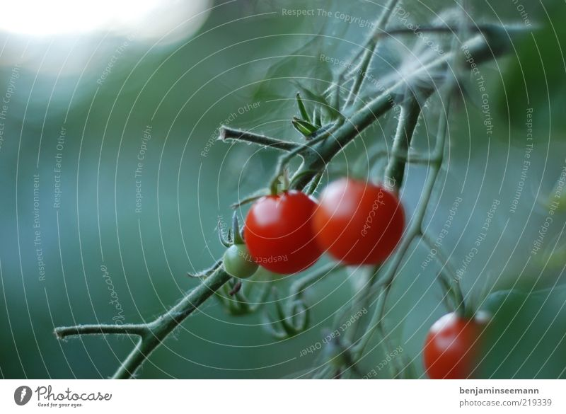 tomatoes Plant Foliage plant Vegetable Tomato Red Delicious Green Colour photo Exterior shot Deserted Copy Space left Morning Light Blur Shallow depth of field