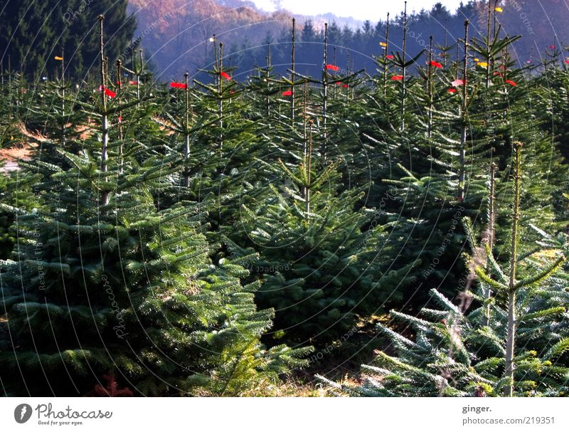 Nature Green Plant Tree Landscape Many Culture Christmas tree Fir tree Treetop Tradition Forestry Coniferous trees Ritual Label