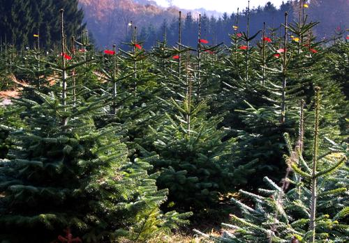 We're waiting for the Christ Child. Nature Landscape Plant Tree Many Green Fir tree Christmas tree Plantation Tree nursery Coniferous trees Tradition Ritual