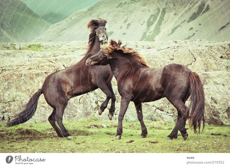 They're just pretending Nature Landscape Animal Wind Meadow Rock Mountain Farm animal Wild animal Horse 2 Pair of animals Fight Walking Esthetic Natural Brown