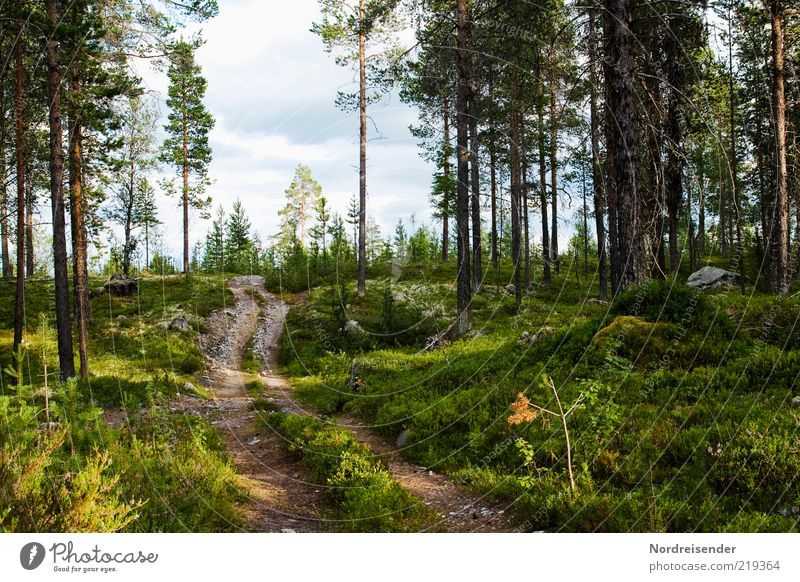 Nature Tree Plant Summer Forest Relaxation Lanes & trails Landscape Moody Authentic Footpath Beautiful weather Sweden Scandinavia Pine