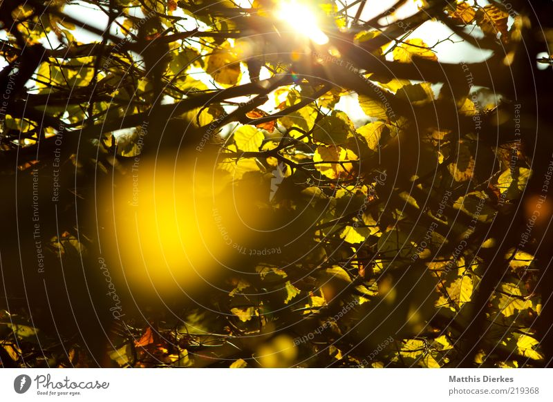 Nature Sun Plant Yellow Autumn Environment Gold Esthetic Romance Bushes Uniqueness Idyll Beautiful weather Dusk Hedge Twigs and branches