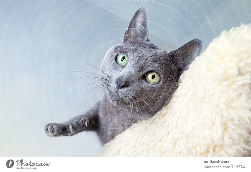 Blue Animal Above Gray Cat Esthetic Animal face Curiosity Cute Silver Pet Grasp Claw Short-haired Whisker Cat eyes