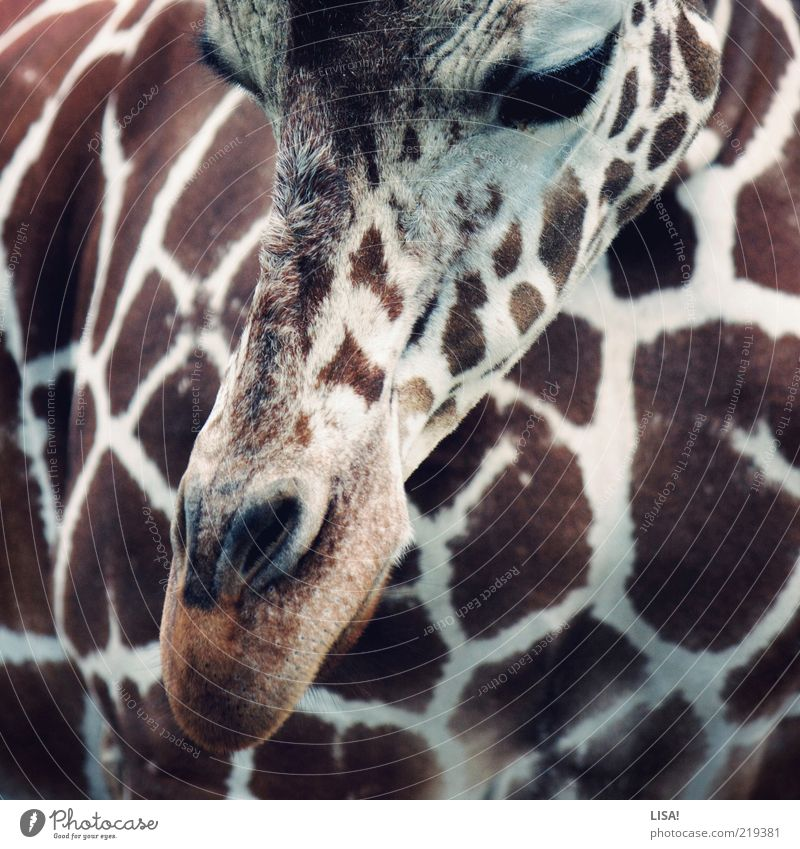 White Animal Brown Esthetic Animal face Pelt Zoo Wild animal Snout Partially visible Section of image Dappled Speckled Giraffe Nostrils