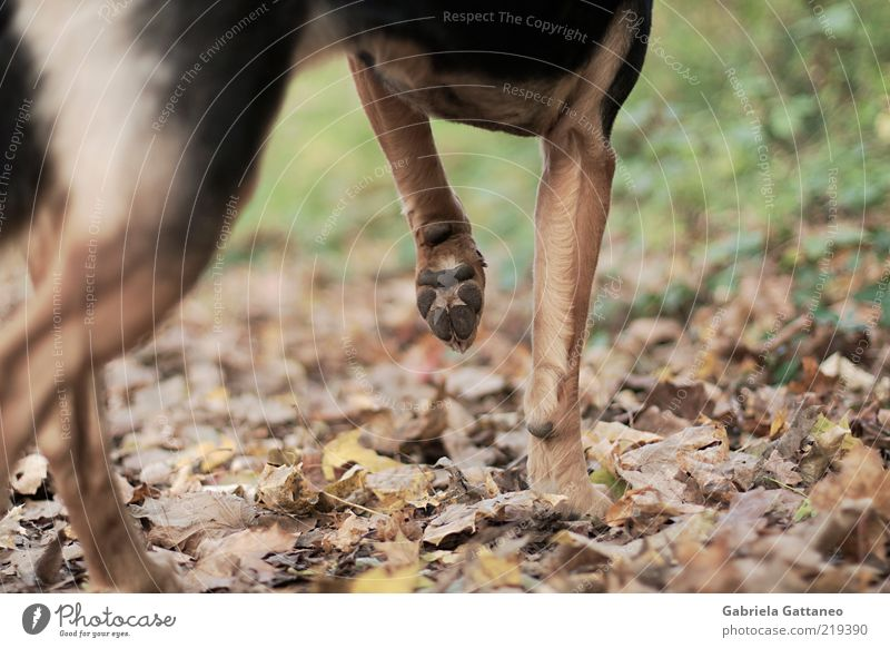 Dog Nature Leaf Calm Animal Autumn Brown Stand Pelt Hunting Pet Paw Partially visible Section of image Stagnating Watchdog