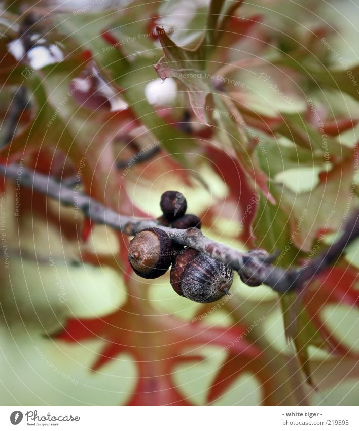 Nature Green Red Leaf Autumn Brown Change Branch Twig Light Tree fruit Acorn Cycle Beech leaf