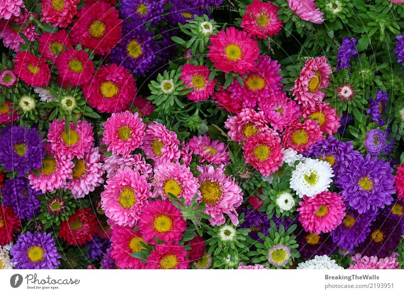Background of multicolor aster flowers close up Feasts & Celebrations Valentine's Day Nature Plant Autumn Flower Leaf Blossom Aster Garden Fresh Green Pink