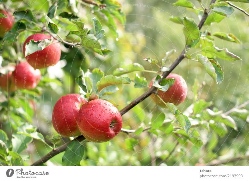 Red apples Fruit Summer Garden Nature Landscape Plant Autumn Tree Drop Growth Fresh Natural Juicy Green Colour orchard food Farm ripe healthy Organic Seasons