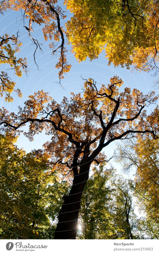Seasonal Nature Cloudless sky Autumn Beautiful weather Tree Forest Brown Yellow Green Autumnal colours Automn wood Leaf Autumn leaves Oak tree Colour photo