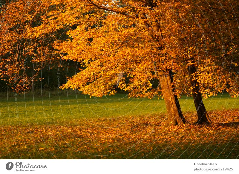 Nature Old Tree Plant Calm Leaf Meadow Autumn Park Moody Environment Gold Earth Elements Beautiful weather Contrast