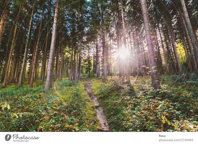 fir forest Norway spruce Red Sun Back-light Lanes & trails Nature Early fall Tree Coniferous trees Landscape Hiking Deserted Tree trunk Mood lighting Jinxed