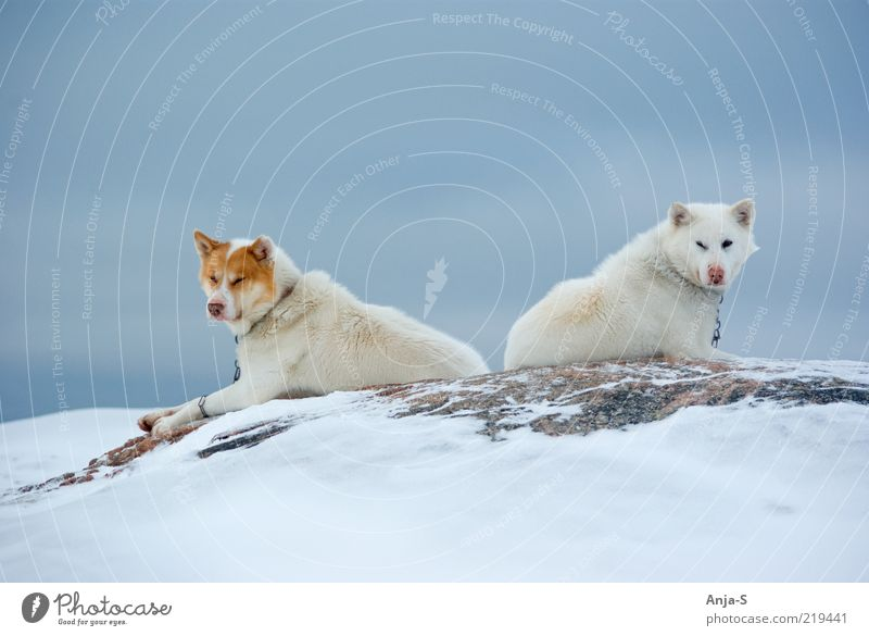 Sky Dog Nature Blue White Winter Animal Relaxation Snow Ice Contentment Pair of animals Lie Cool (slang) Frost Break