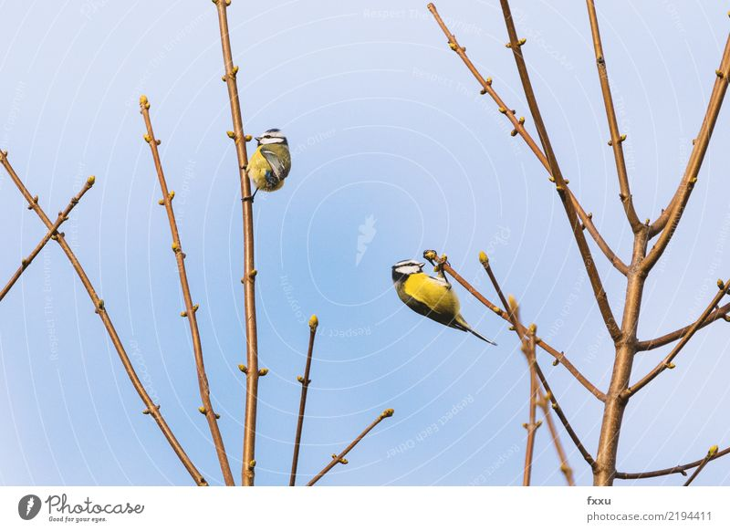Blue Tit Tit mouse Bird Nature Songbirds Animal Small Foraging Feather Branch Dish Eating Feed Cute Wing