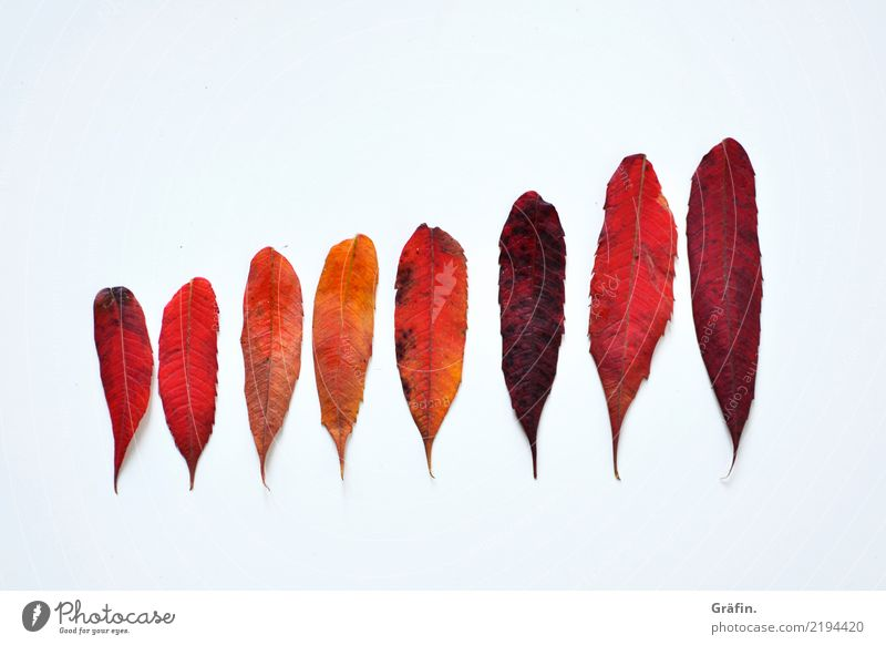 8 shades of red Environment Plant Autumn Leaf Discover Illuminate Faded To dry up Beautiful Natural Red White Variable Colour Nature Arrangement
