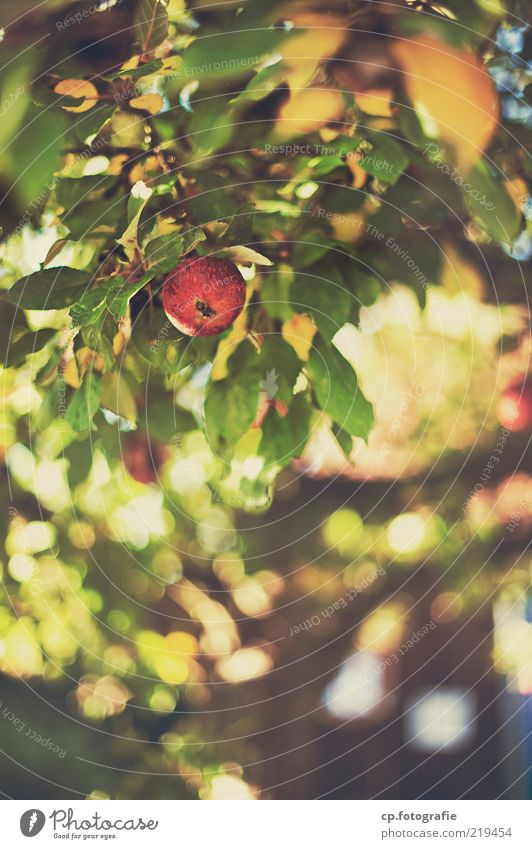 Can vitamins be a sin? Environment Nature Plant Autumn Beautiful weather Leaf Agricultural crop Apple Apple tree Fruit Fruity Contentment Colour photo Day