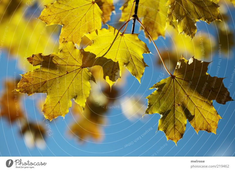 Nature Sky Blue Leaf Yellow Autumn Environment Beautiful weather Twig Rachis Autumn leaves Limp Blur Autumnal Translucent Autumnal colours