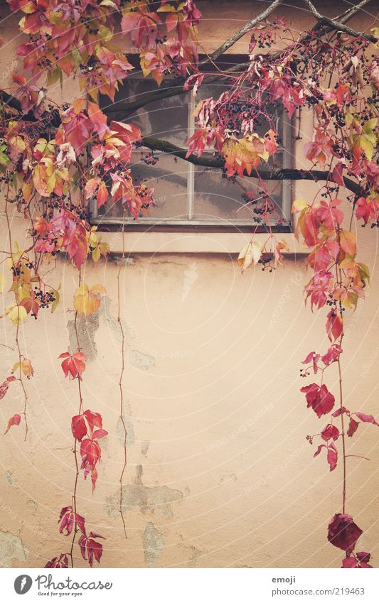 Old Plant Red Leaf Autumn Wall (building) Window Wall (barrier) Facade Branch Frontal Tendril Suspended Adjectives Autumnal Autumnal colours