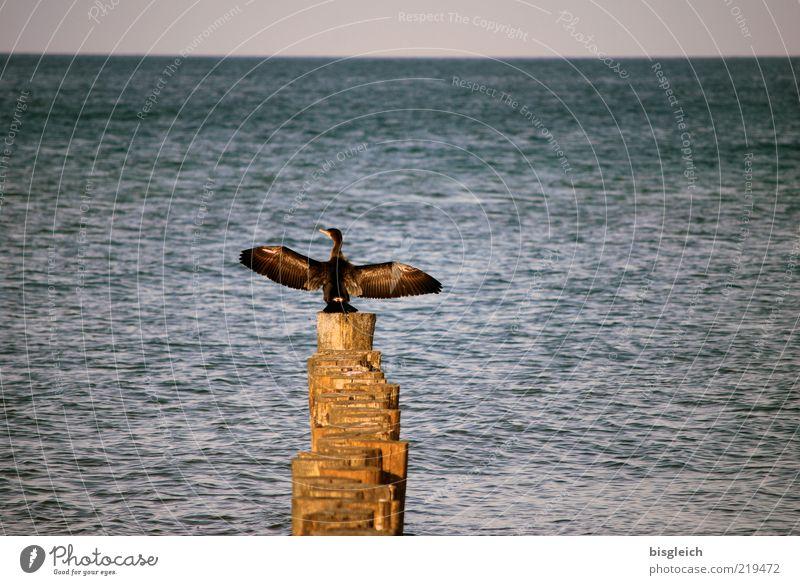Ocean Blue Animal Wood Brown Bird Horizon Sit Wing Baltic Sea Individual Break water Sea water Surface of water Cormorant