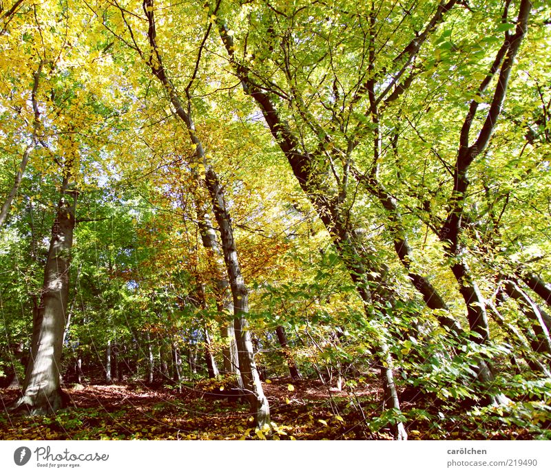 beech forest Environment Tree Park Forest Brown Yellow Gold Green Beech wood Autumn Autumn leaves Autumnal colours Automn wood Leaf canopy Colour photo