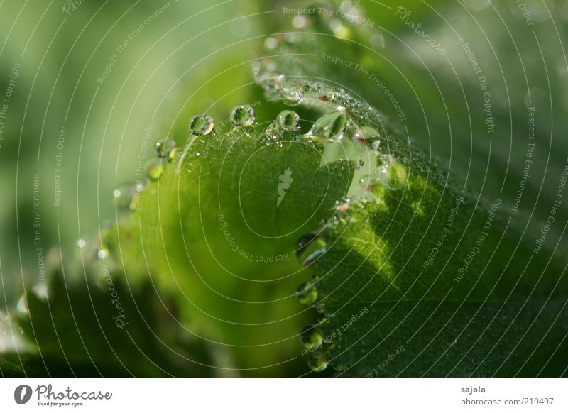 drops Environment Nature Plant Water Drops of water Leaf Green guttation Colour photo Exterior shot Close-up Detail Macro (Extreme close-up)