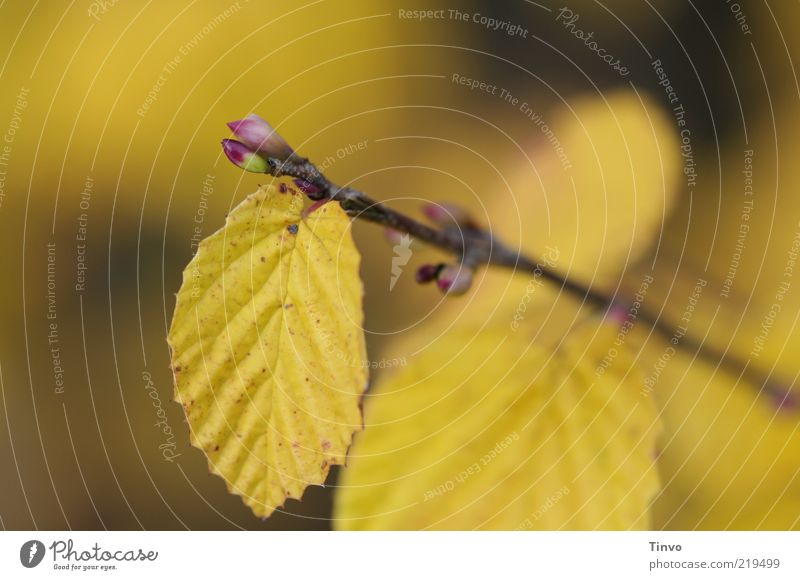 Nature Leaf Yellow Autumn Change Transience Twig Leaf bud Autumn leaves Autumnal Autumnal colours Beech leaf