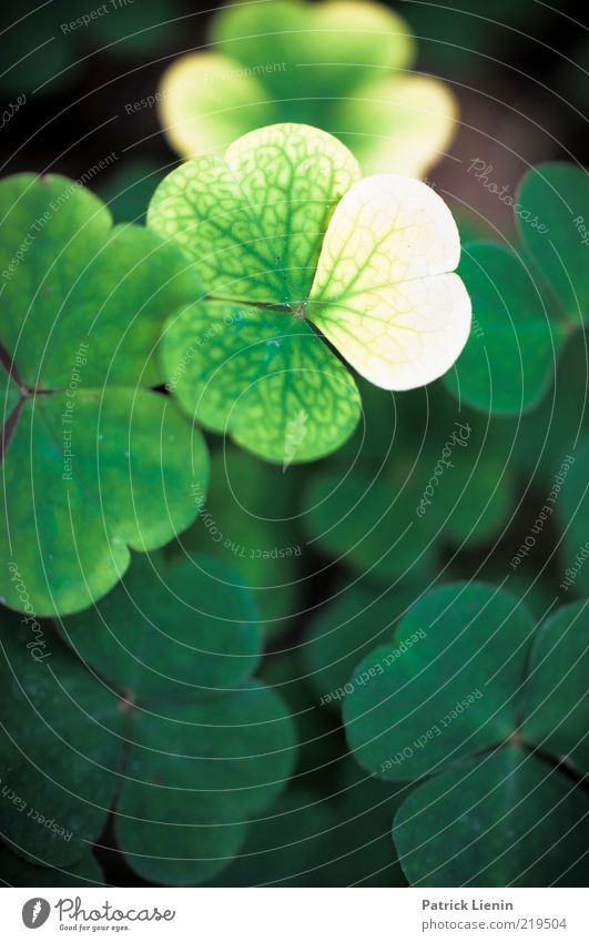 wood sorrel Environment Nature Plant Elements Leaf Foliage plant Wild plant Growth Esthetic Bright Beautiful Moody Yellowed Seasons Sorrel Structures and shapes