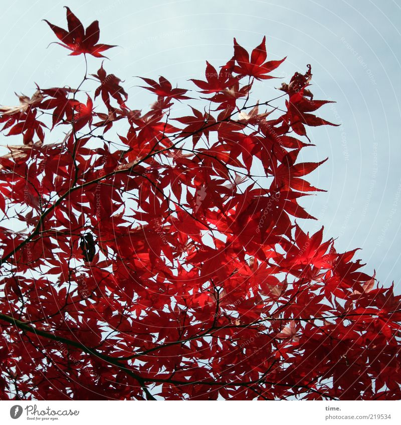 autumn glow Environment Nature Plant Sunlight Autumn Tree Leaf Exceptional Authentic Exotic Red Growth Maple tree Colour photo Exterior shot Close-up Deserted