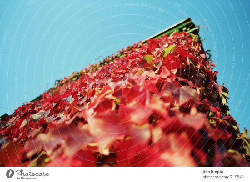 Sky Blue Red House (Residential Structure) Autumn Wall (building) Wall (barrier) Facade Wild Natural Beautiful weather Ivy Building Autumnal Overgrown