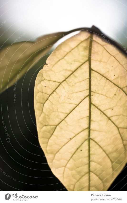 Nature Beautiful Old Plant Leaf Autumn Air Line Environment Authentic Illuminate Rachis Foliage plant Macro (Extreme close-up) Leaf green Translucent