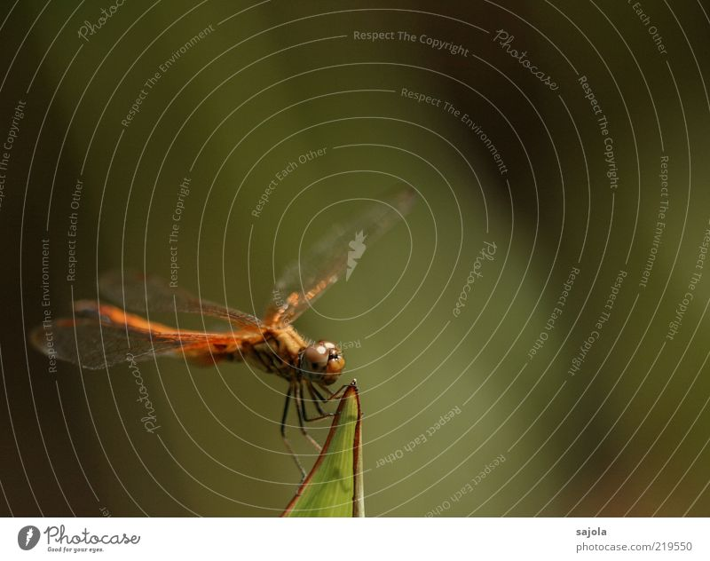 Ready to start Nature Animal Wild animal Insect Dragonfly 1 To hold on Sit Wait Colour photo Exterior shot Close-up Macro (Extreme close-up) Copy Space right