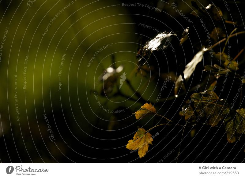 Nature Plant Leaf Black Dark Autumn Environment Bushes Transience Twig Autumn leaves Limp Cycle