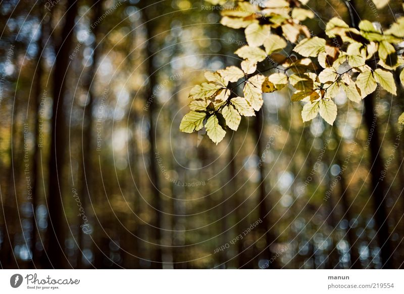 Nature Tree Leaf Forest Autumn Landscape Change Transience Natural Original Autumn leaves Twigs and branches Beech tree Autumnal Translucent Autumnal colours