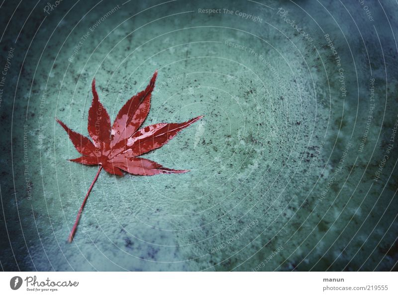 cold and damp Nature Drops of water Autumn Maple leaf Autumn leaves Autumnal Autumnal colours Lie Dark Wet Natural Original Point Transience Change Dank Damp