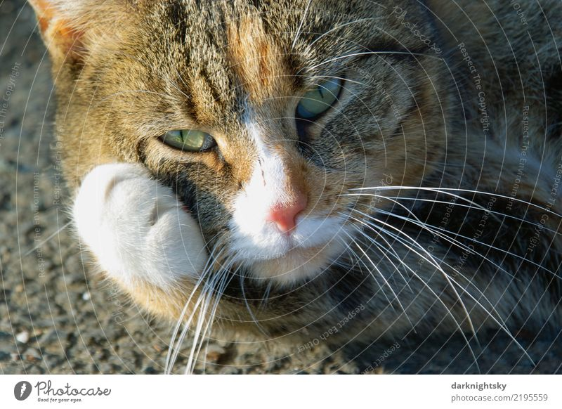 Portrait of a lying cat with a paw Elegant Face Harmonious Well-being Contentment Relaxation Calm Street Animal Pet Cat Animal face Pelt Paw 1 Touch Lie