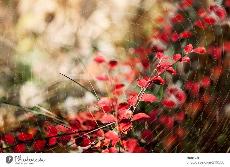 Nature Beautiful Red Leaf Autumn Bright Fresh Bushes Change Transience Natural Illuminate Original Autumn leaves Autumnal Autumnal colours