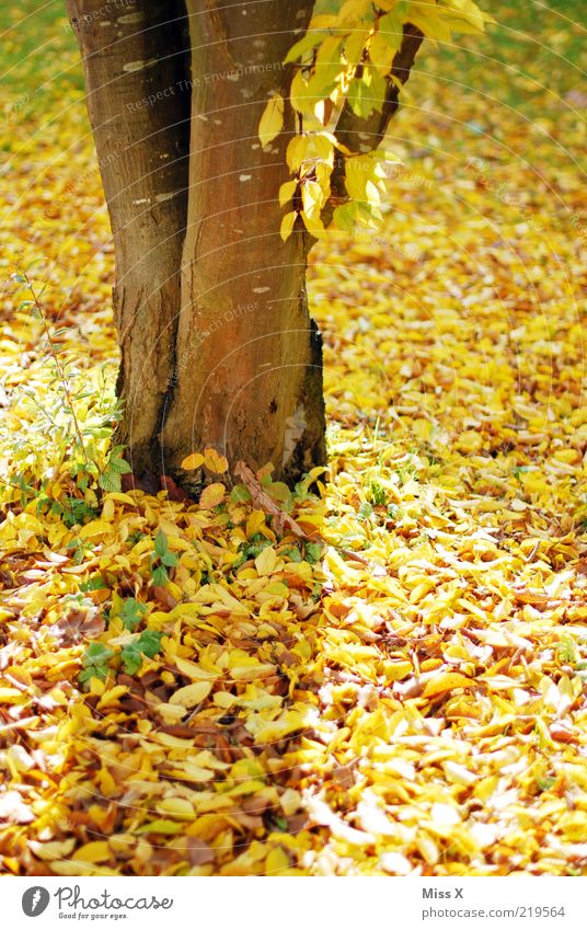 Yellow Autumn Tree Leaf Gold Tree trunk Beech tree Autumn leaves Autumnal Indian Summer Colour photo Multicoloured Exterior shot Deserted Day Light Cycle Detail