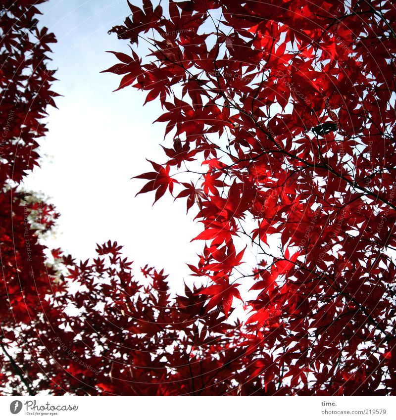 glow in autumn Beautiful Life Environment Nature Plant Autumn Tree Leaf Growth Exceptional Red Maple tree Colour photo Exterior shot Deserted Day Shadow