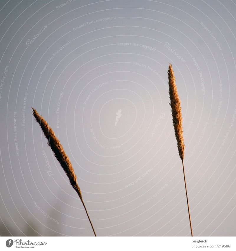 Sky Plant Grass Gray Sadness Brown 2 Together Gloomy Simple Natural Stalk Blade of grass Baltic Sea Feeble Ear of corn