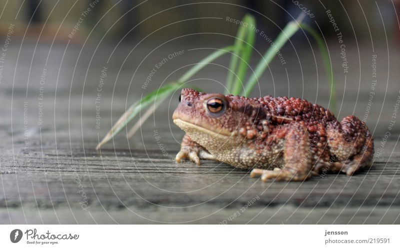 Nature Animal Grass Wait Environment Wet Sit Observe Damp Blade of grass Frog Comfortable Wooden floor Indifferent Copy Space left Looking