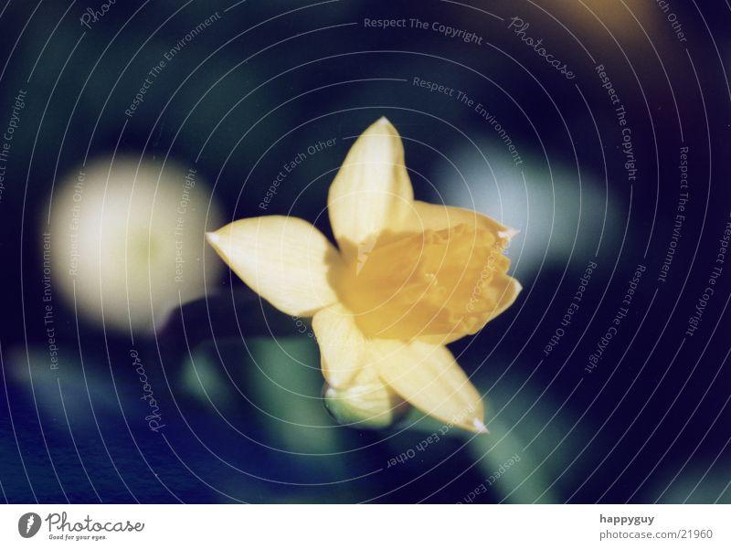 jonquil Flower Plant Wild daffodil Nature