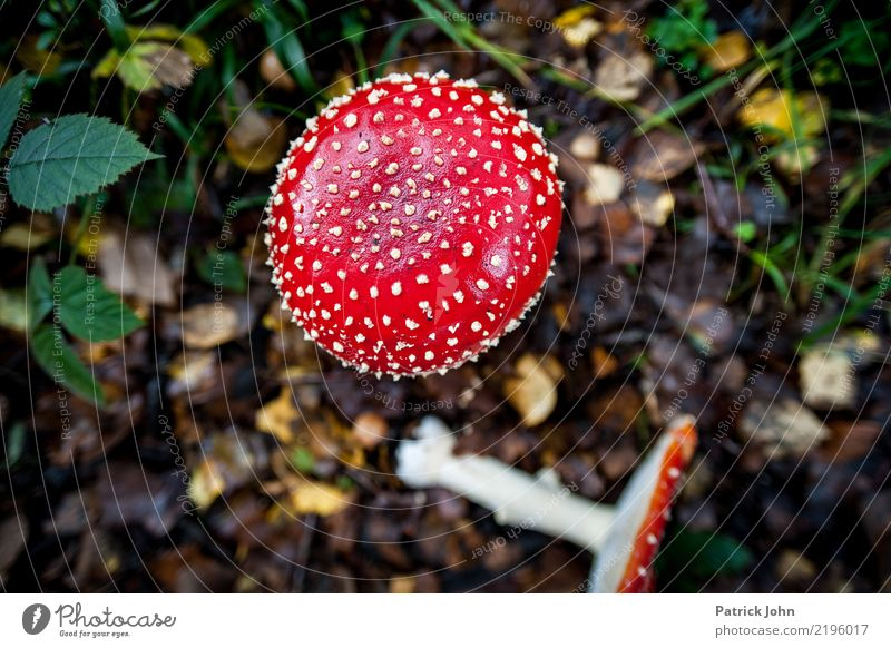 fly agaric Hiking Environment Nature Landscape Plant Wild plant Exotic Forest Wanderlust Amanita mushroom Woodground Poison Disastrous Beautiful Red