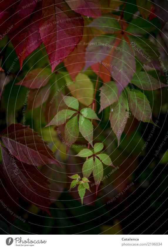 Wild vine Nature Plant Autumn Leaf Creeper Garden Forest Hang Growth Esthetic Brown Yellow Green Orange Pink Red Moody invasive Design Environment Change