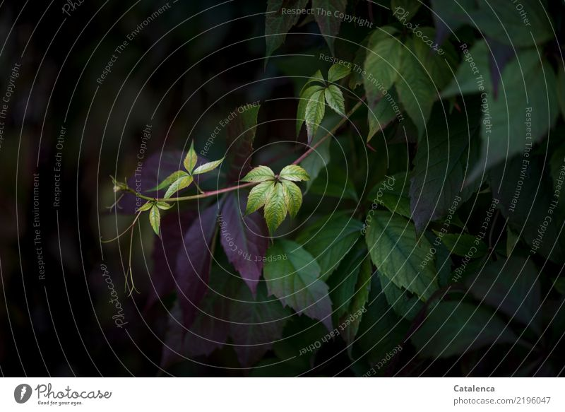 wild wine II Nature Plant Autumn Blossom Creeper Tendril Virginia Creeper Garden Forest Hang To dry up Esthetic Yellow Green Violet Black Moody Attentive Life