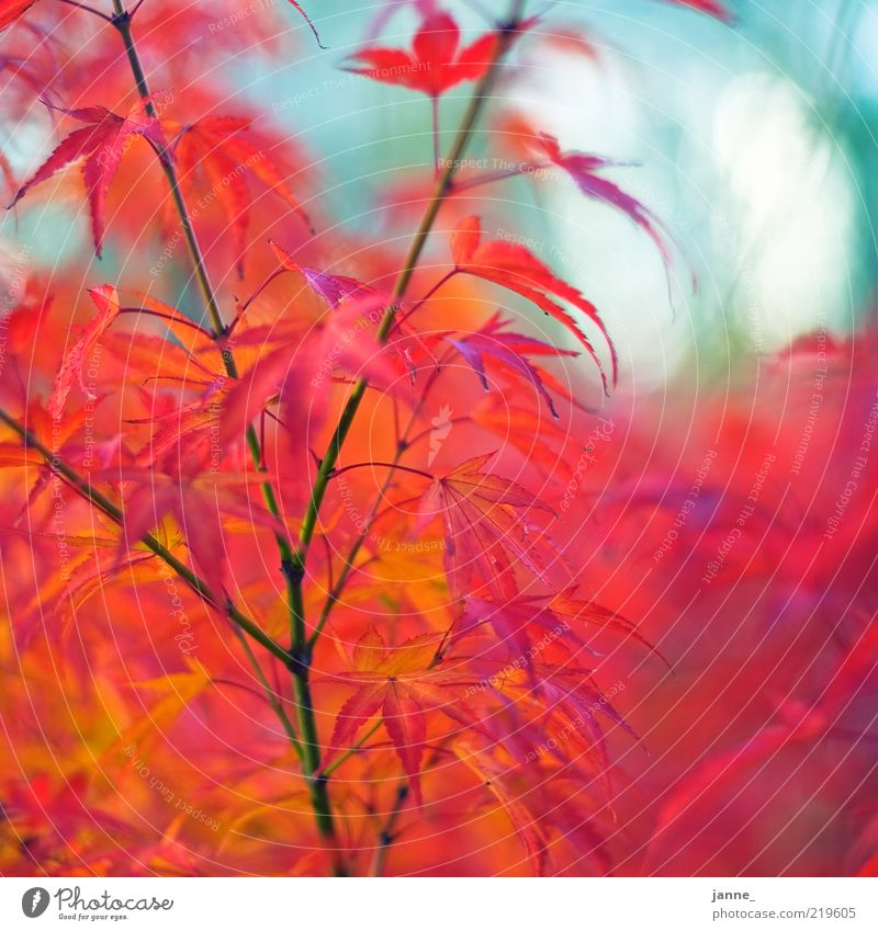 dwarf maple, bokehisiert Environment Nature Plant Autumn Tree Leaf Maple leaf Maple tree Blue Yellow Red White Blur Multicoloured Colour photo Exterior shot Day