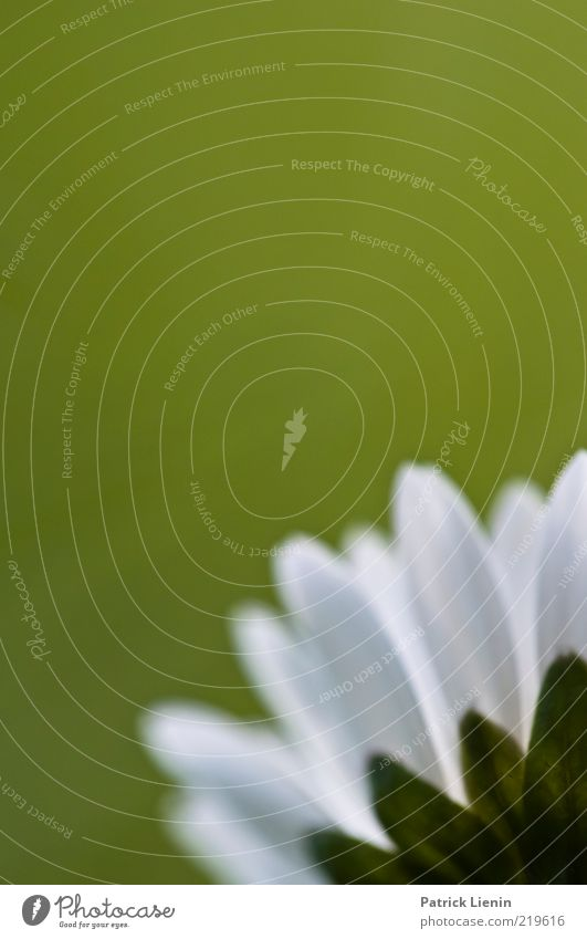 Nature Beautiful White Flower Green Plant Spring Environment Fresh Natural Blossoming Daisy Blossom leave Macro (Extreme close-up) Wild plant