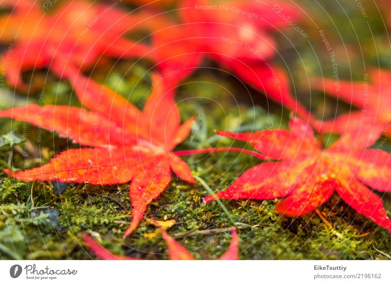 Fall Color Maple Leaves at the Forest in Nikko, Tochigi, Japan Beautiful Vacation & Travel Mountain Garden Nature Plant Sky Autumn Tree Leaf Park Wild Red