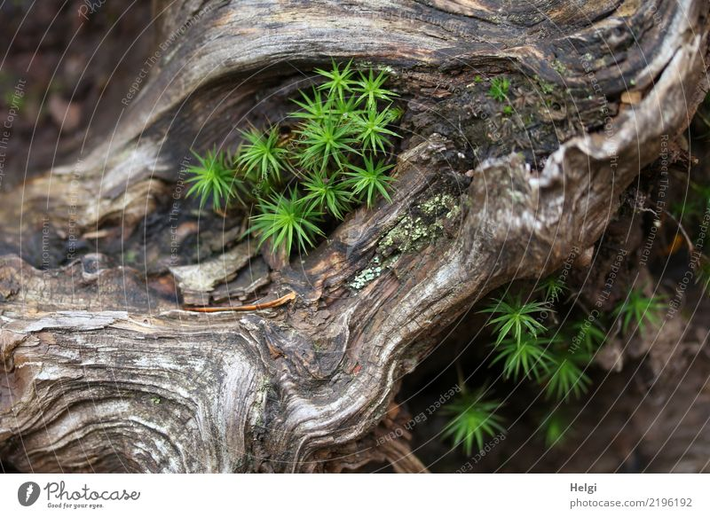 green moss grows in an old gnarled root Environment Nature Plant Autumn Beautiful weather Moss Root of a tree Forest Mountain Black Forest Wood Lie Growth Old