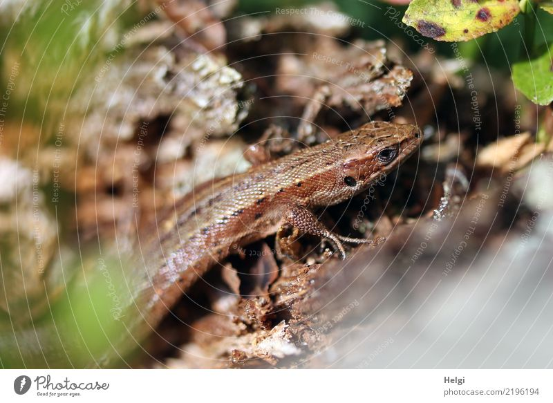 sunbath Environment Nature Plant Animal Autumn Beautiful weather Leaf Wild plant Root of a tree Forest Mountain Black Forest Wild animal Lizards 1 Wood